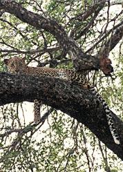 Leopard Correct 2